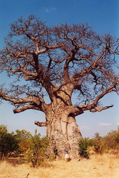 Adansonia digitata or African Baobab is the most iconic and legendary tree of the African continent.