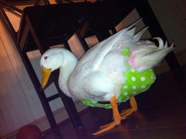 Duck in a diaper harness | My little Duckie | Pinterest | Duck ...