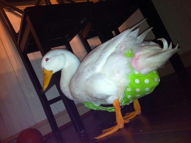 Duck In A Diaper Harness Duck Diapers Pet Ducks Best Pet Birds