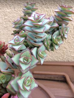 Photo of Crassula Perforata 'String of Buttons' Care a