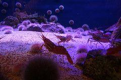 El Krill, o eufausiáceo, es un crustáceo que externamente se parece a un camarón pero de tan solo 3 cm, y es el primer animal de la cadena alimentaria. Se alimenta fundamentalmente de algas, de donde consigue sus nutrientes. Se encuentran en aguas profundas bajo la presión de toda esta agua oceánica, donde el frío y la oscuridad es absoluta, y especialmente en aguas del Antártico, donde destaca la variedad Euphasia Superba.