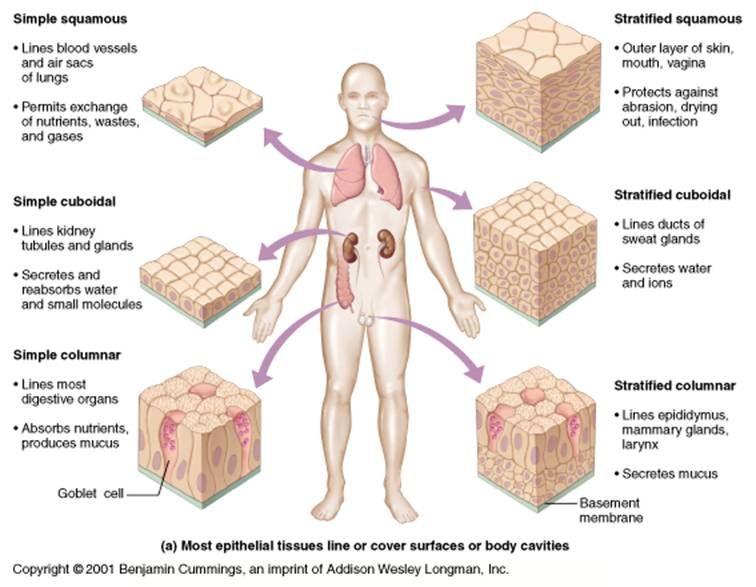 Best 25+ Human Tissue ideas on Pinterest   Nerves of the body ...