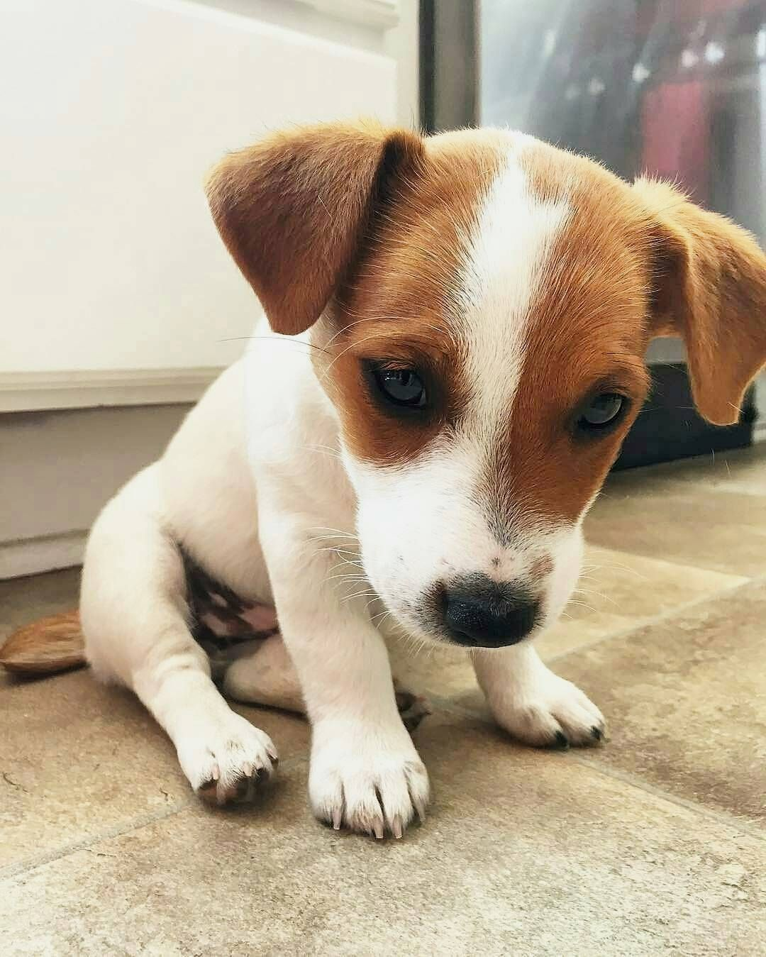 Https Outrace Cz Jack Russell Puppies Jack Russell Terrier Puppies Jack Russell