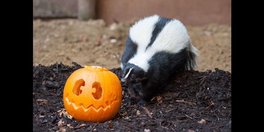 Drôles ou effrayants, les animaux sont prêts pour Halloween au zoo de Bristol