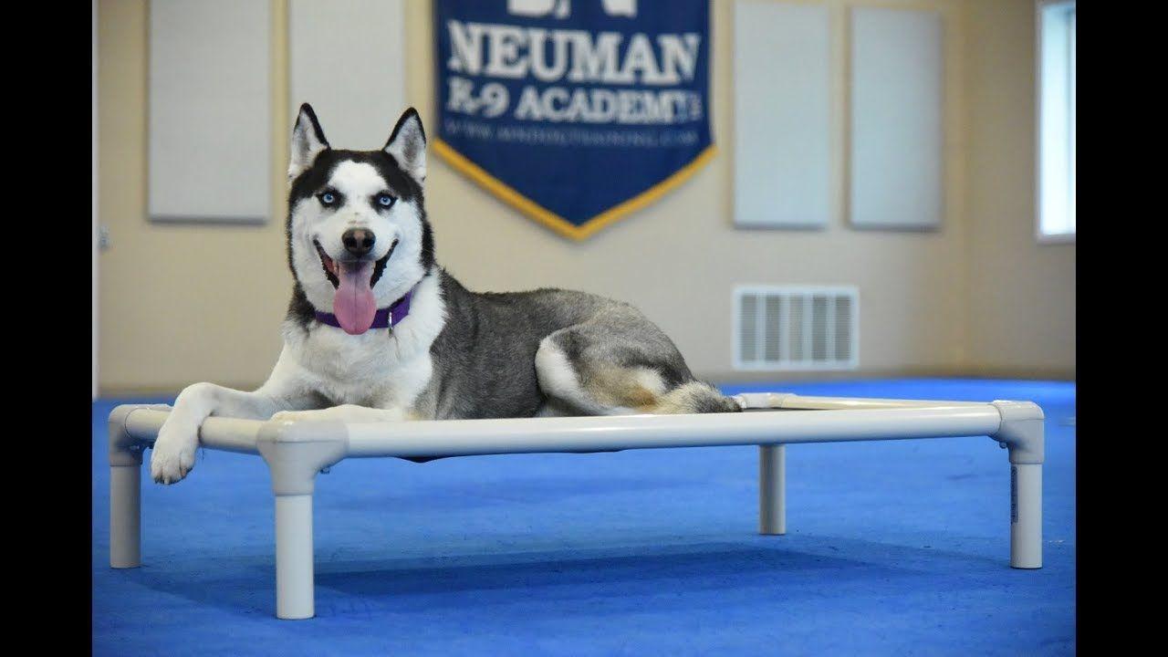 Tiberius Siberian Husky Boot Camp Dog Training Video