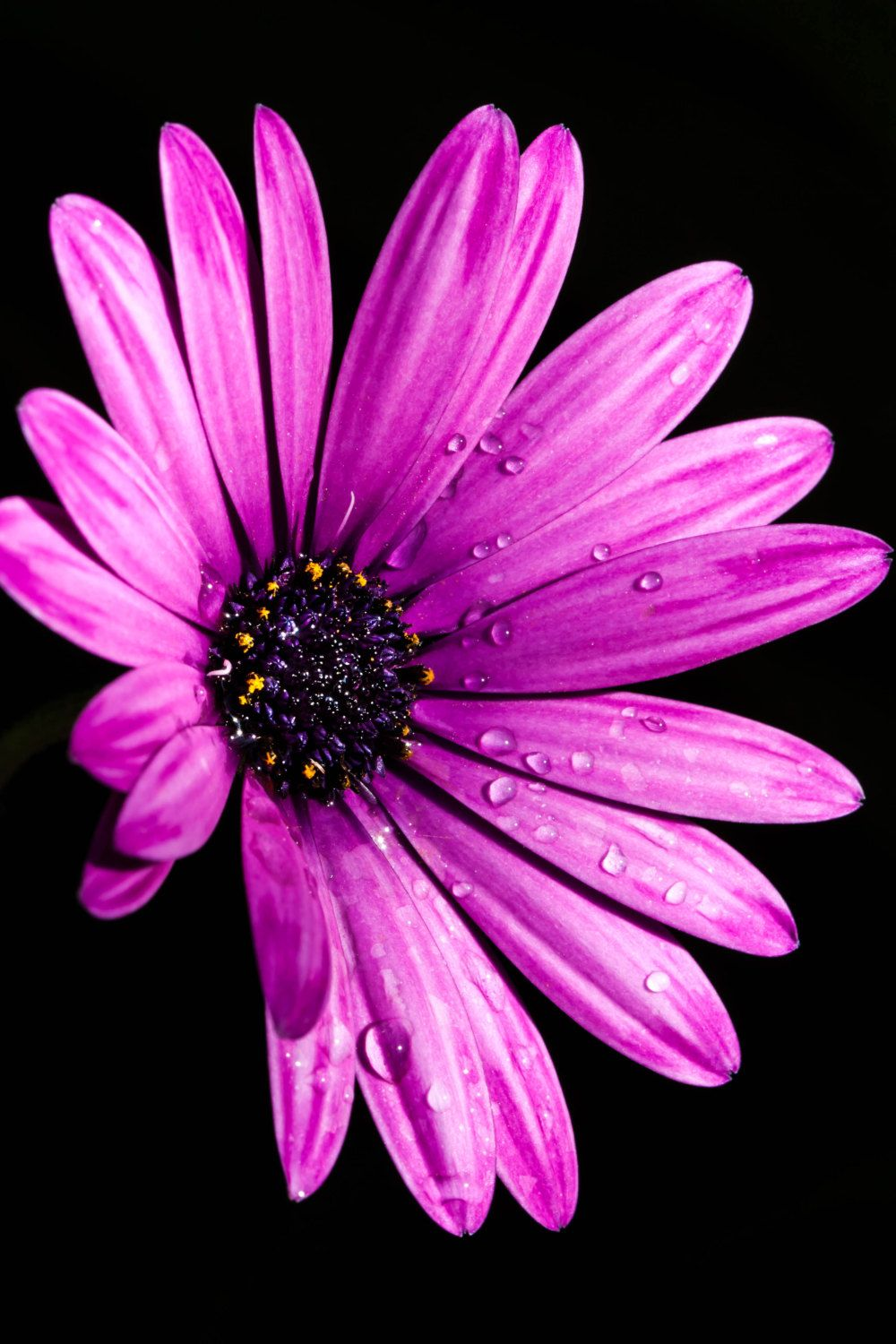 Purple daisy flower photography floral nature photography 8x10 8x12 purple daisy flower photography floral nature bkphillipsart izmirmasajfo