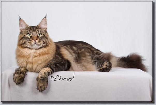 Pin On Beautiful Mainecoons