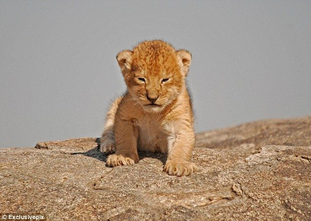 LIKE LION KING!