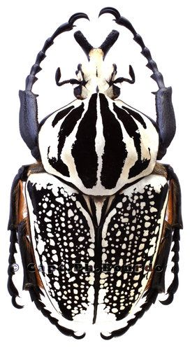 Goliathkäfer Goliathus Orientalis Pustulatus Beetles Beetle