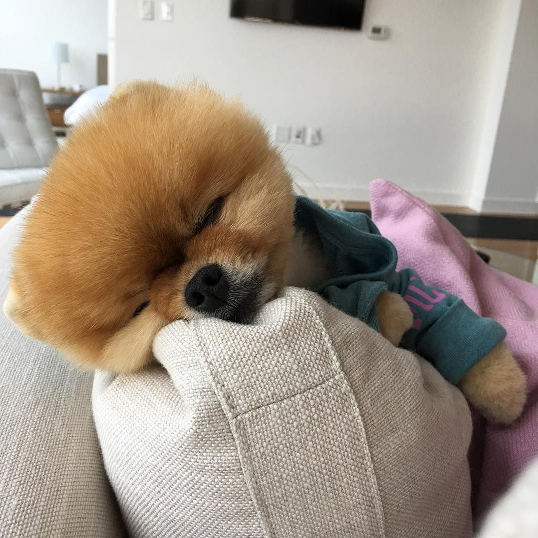 See This Instagram Photo By Jiffpom K Likes BooWorlds - Jiff the pomeranian is easily the best dressed model on instagram