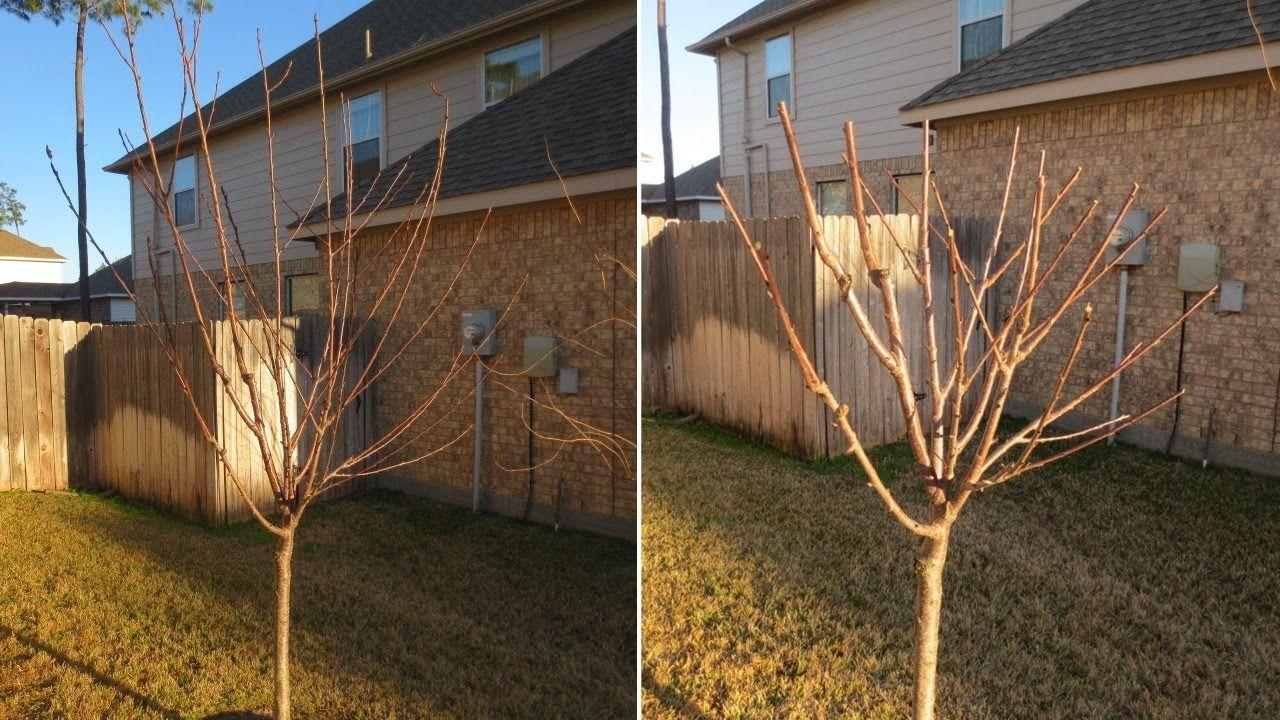 How to Prune Fruit Trees: Avocado, Apple, Nectarine, Plum ...