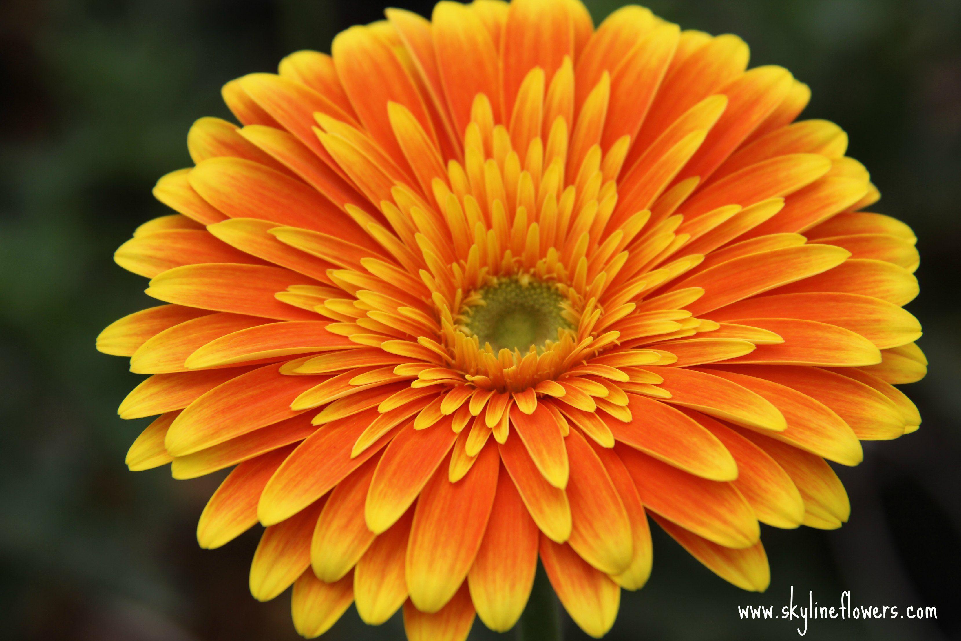 Orange Gerbera Flower Farm Gerbera Orange Flowers