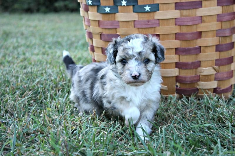 Ella Female Aussie Doodle   AVAILABLE Ready for new  homes Nov. 1st, 2013