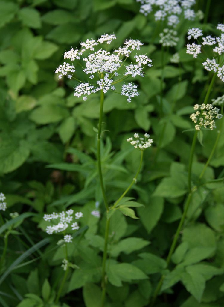 How to deal with ground elder