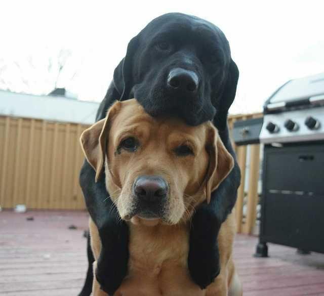Best Friends Labrador Dog Labrador Retriever Puppies Cute Dog Pictures