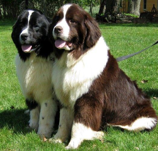 Adorable Newfoundlands Dogs, Newfoundland dog