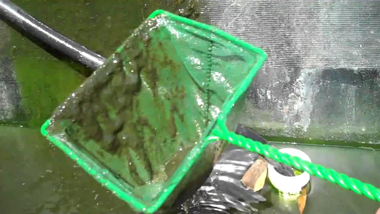 Feeding Plankton and Zooplanton to Tilapia and Crawfish