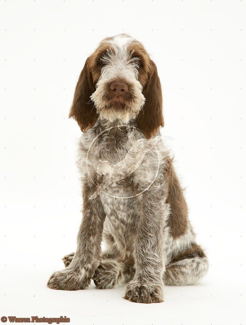 Image of italian spinone brown roan young puppy blue sitting cute - Dog Brown Roan Spinone Pup Wilson 12 Weeks Old Sitting