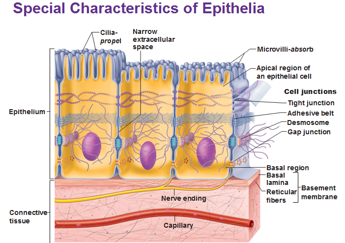 Special Characteristics Of Epithelia Epithelium Serous Membrane Tight Junction