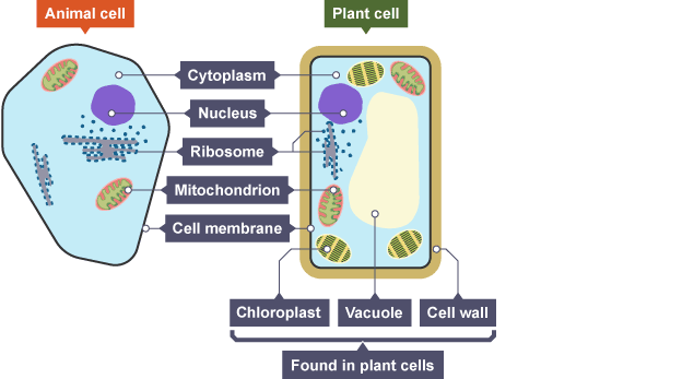 489eaa081e94cb32560c4feecbd202b6 animal and plant cells both share cytoplasm, nucleus, ribosome