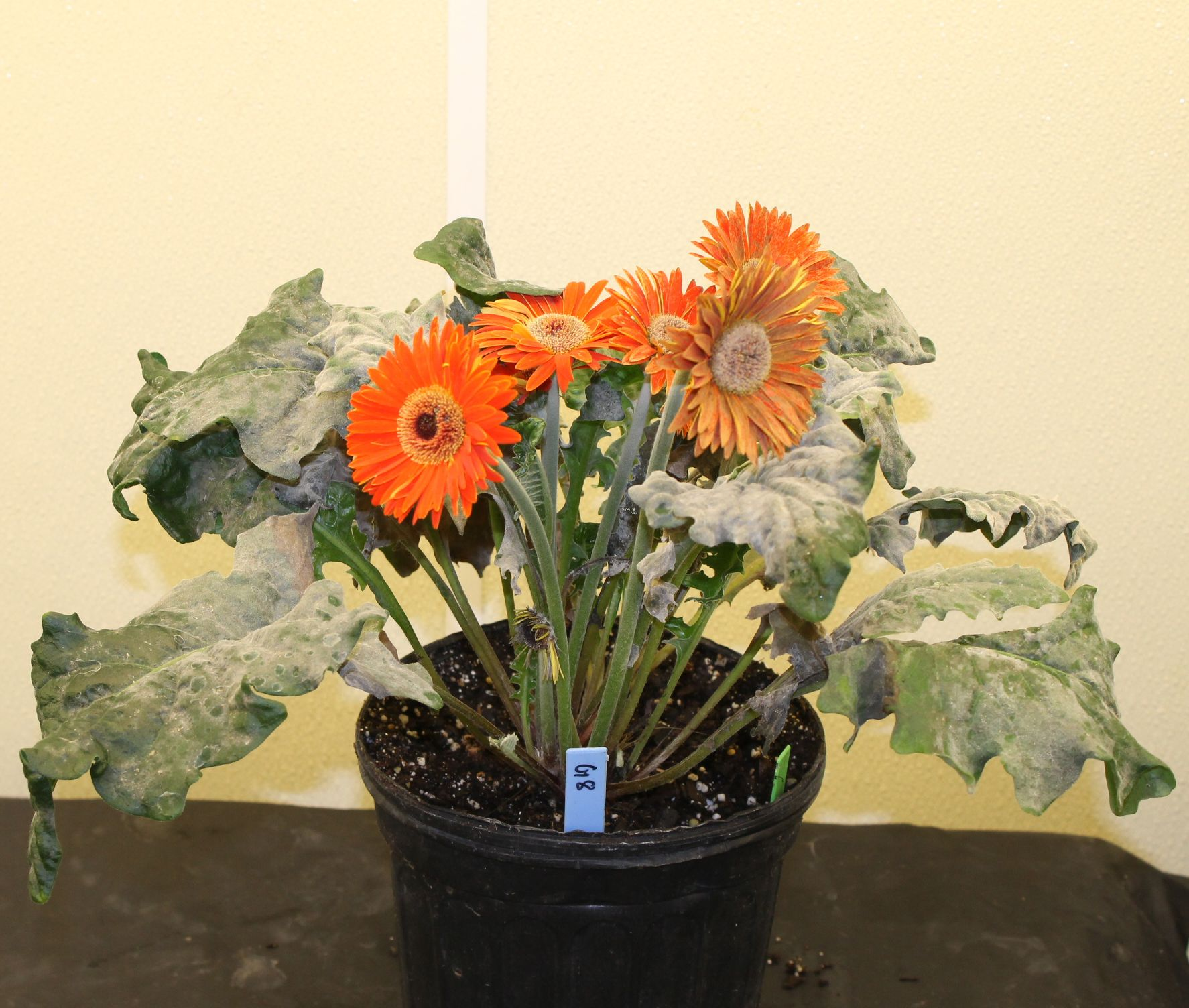 Afe Research Aims To Protect Gerbera From Powdery Mildew Gerbera Flower Gerbera Plant Gerbera