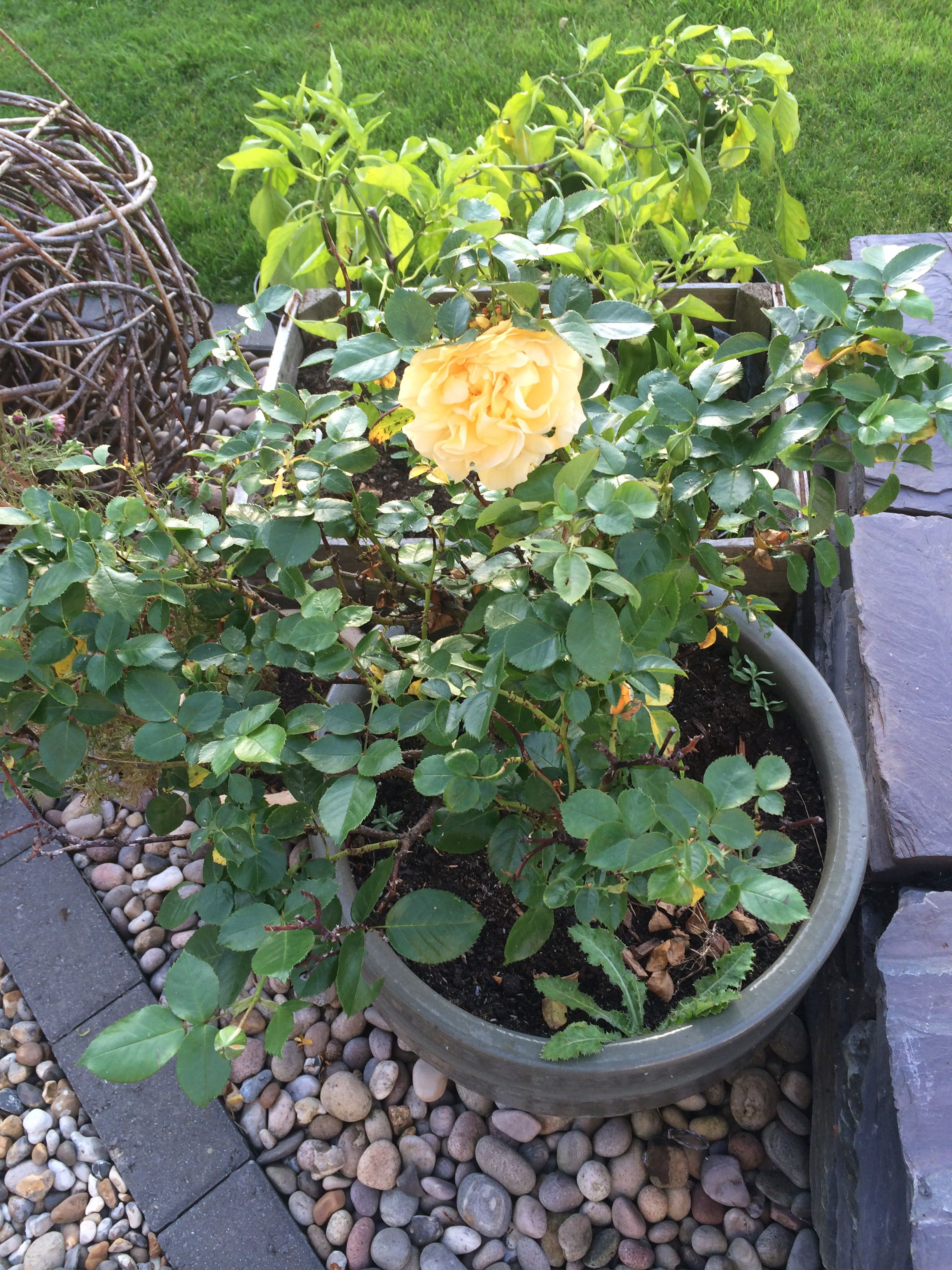 Absolutely Fabulous Rose That Has Started Re Flowering Now