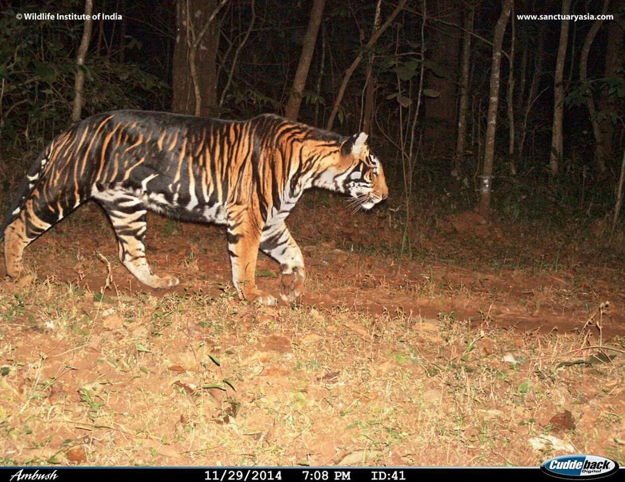 Melanistic Tigers Melanistic Animals Melanistic Unusual Animals