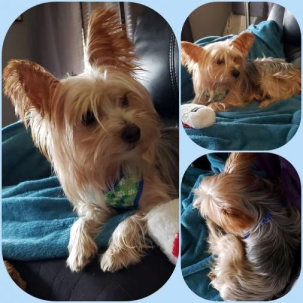 Terrier and Yorkshire Terrier mixed Dog for Adoption in