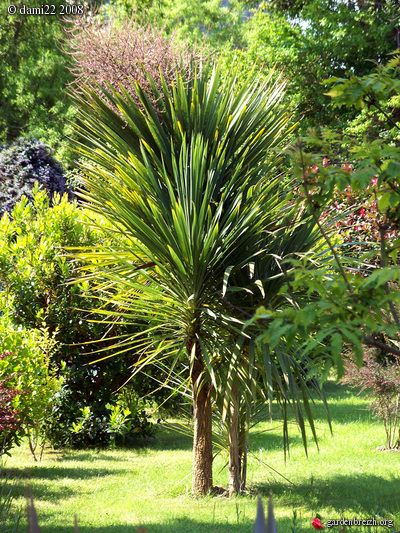 dracaena indivisa cordyline australis jardins pinterest jardins amenagement jardin et. Black Bedroom Furniture Sets. Home Design Ideas