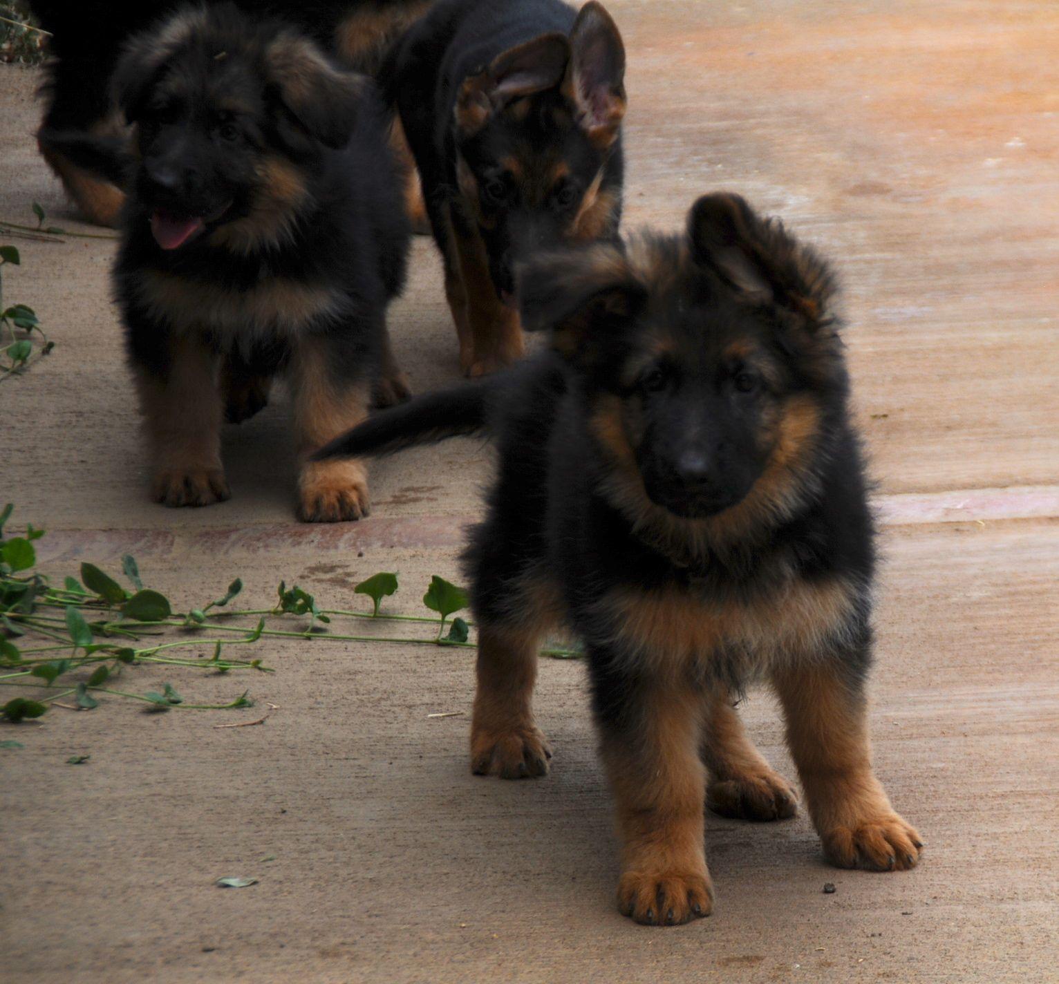 German Shepherd Female German Shepherd Puppies For Sale Pastor Aleman Animales Perros