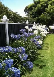 Blue White Agapanthus It Must Be Christmas Rose Garden
