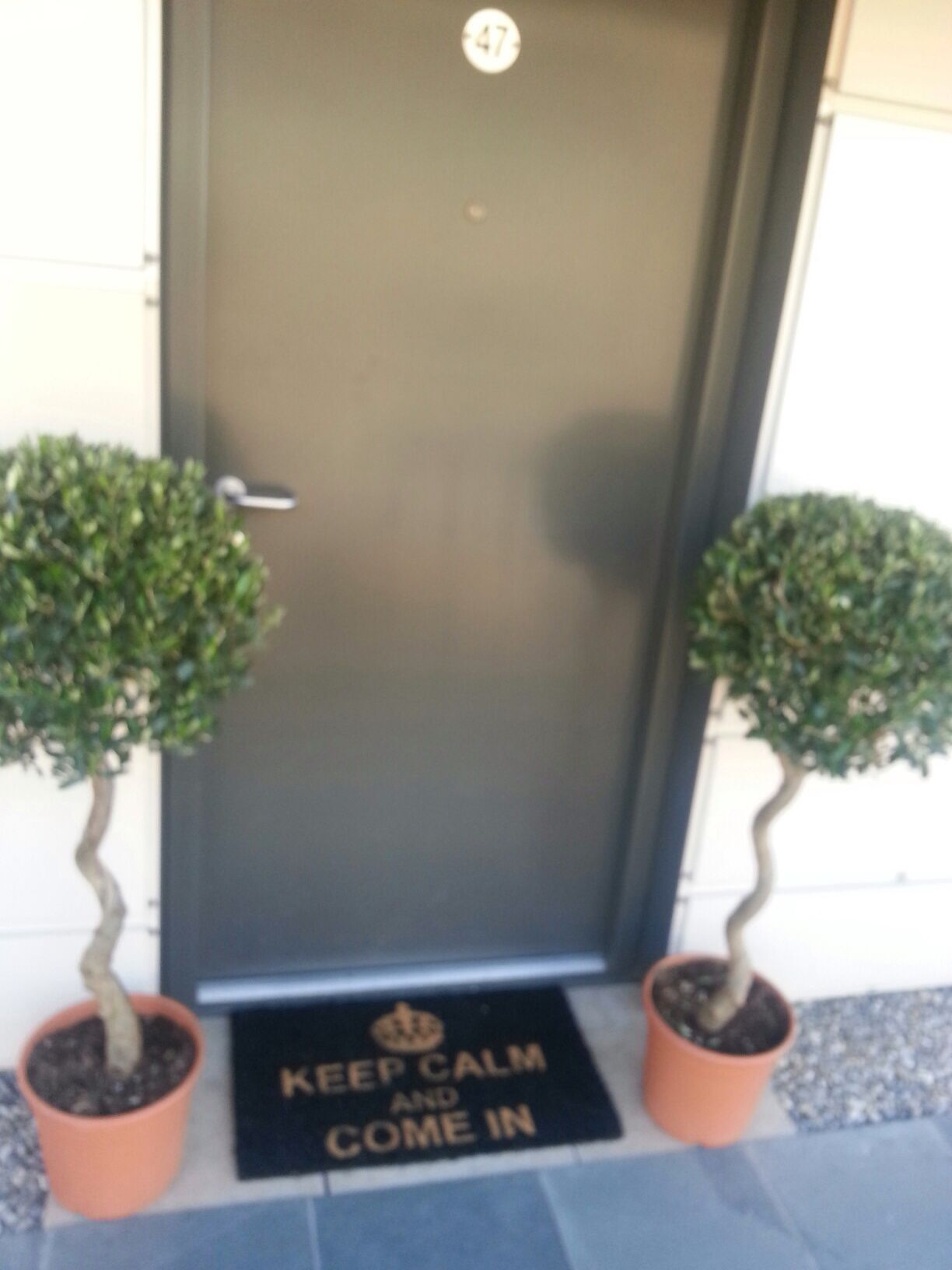Corkscrew Olive Trees 120 A Pair