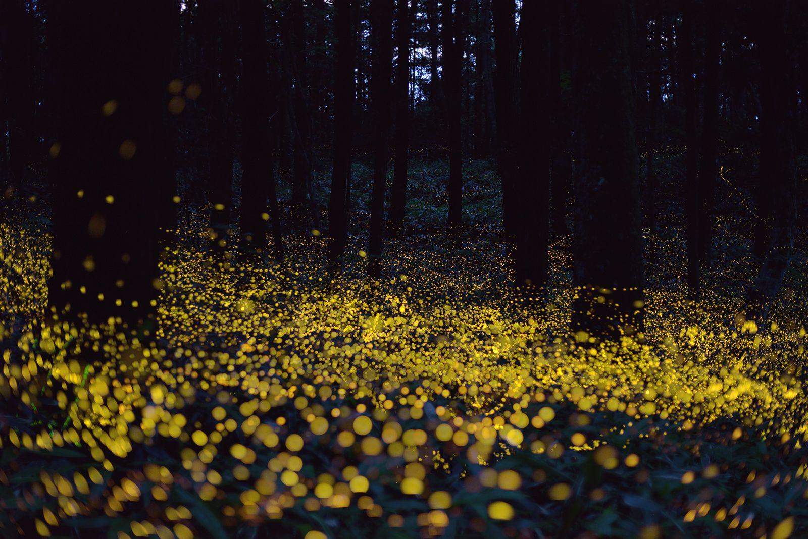 The Beautiful Flight Paths Of Fireflies Flirting Lightning Bugs Illuminate A Dark Forest With Golden During Mating Season Tsuneaki Hiramatsu