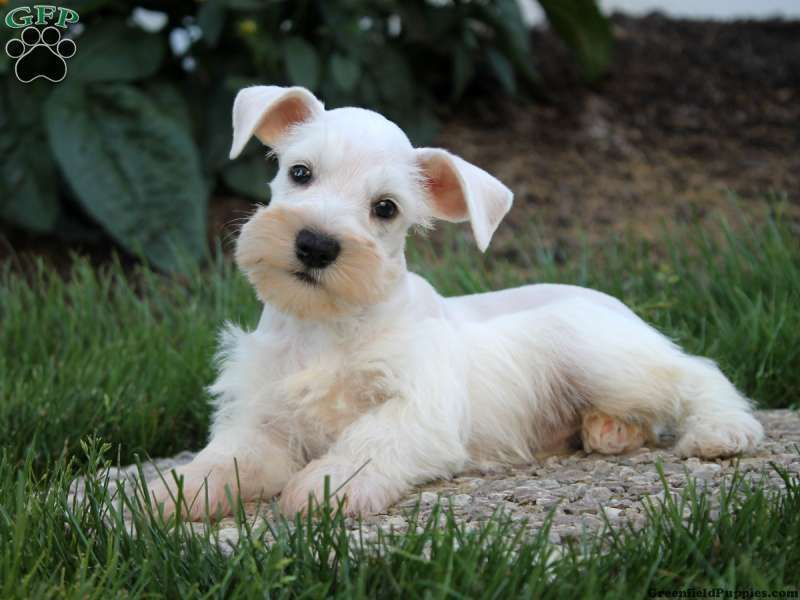 Schnauzer Miniature Puppies For Sale In Pa Schnauzer Babies