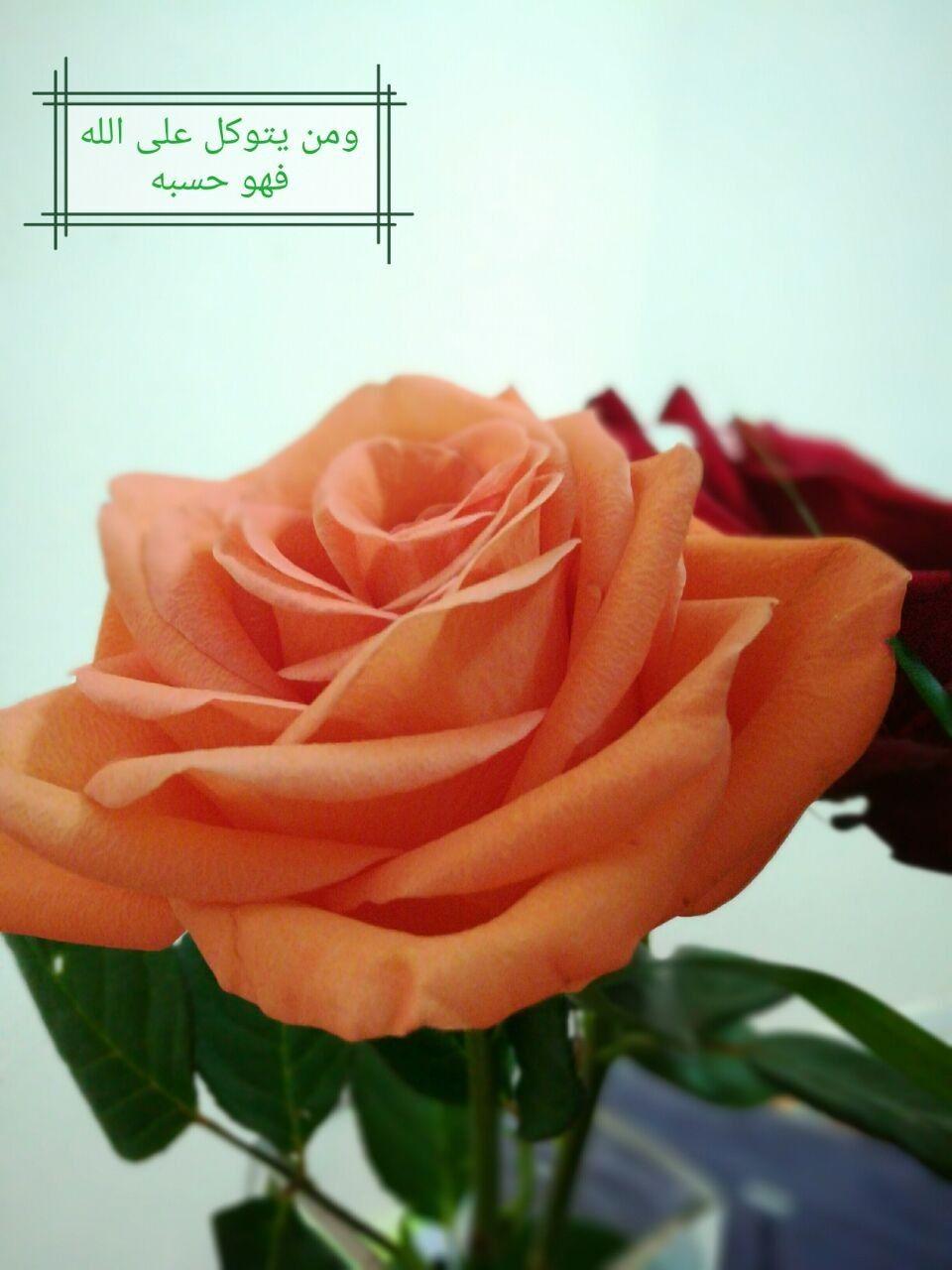 Orange Rose Good Morning أوتاد مسقط للتجارة صباح الخير ومن يتوكل على الله فهو حسبه Plants Rose Flowers