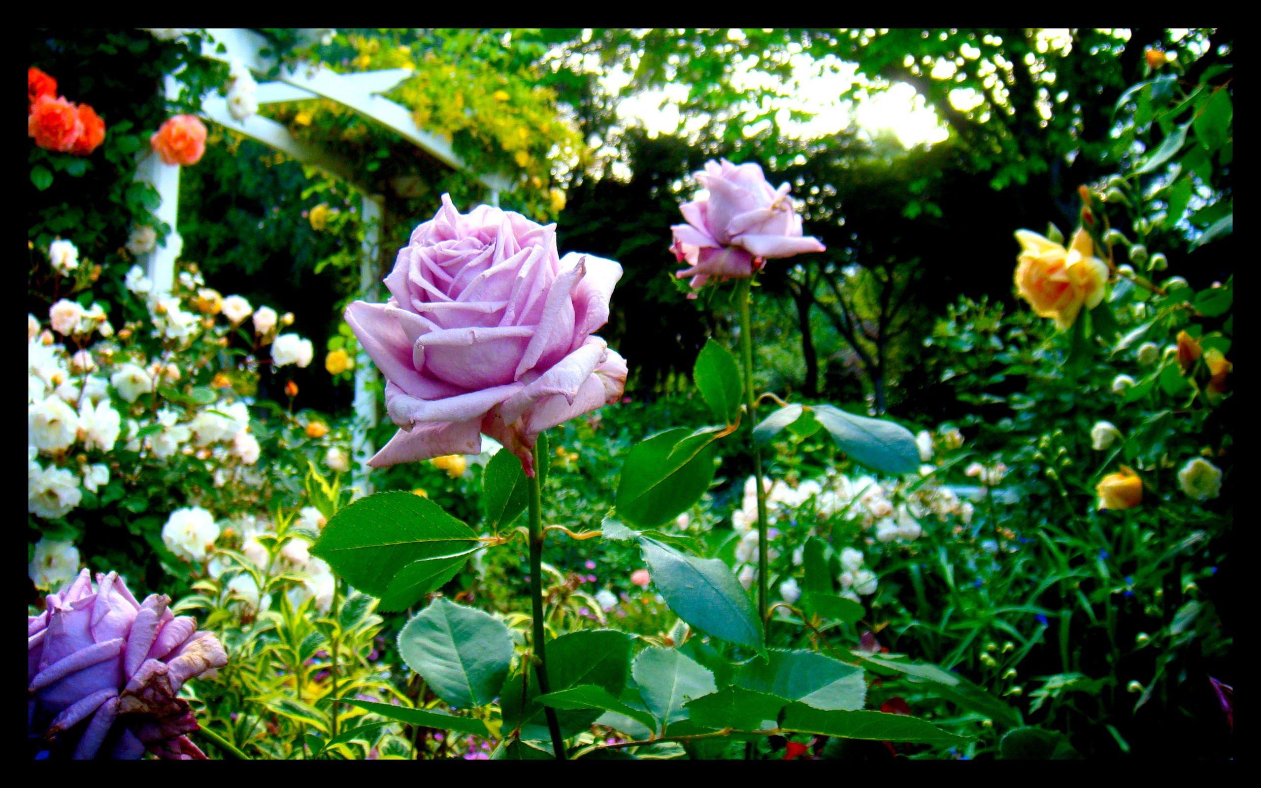 Flower Garden Wallpaper Background clifford bishop - rose garden background wallpaper free - 2560 x