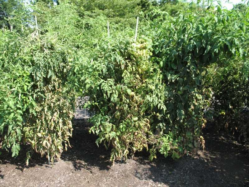 Tomato diseases can be difficult for the home gardener to