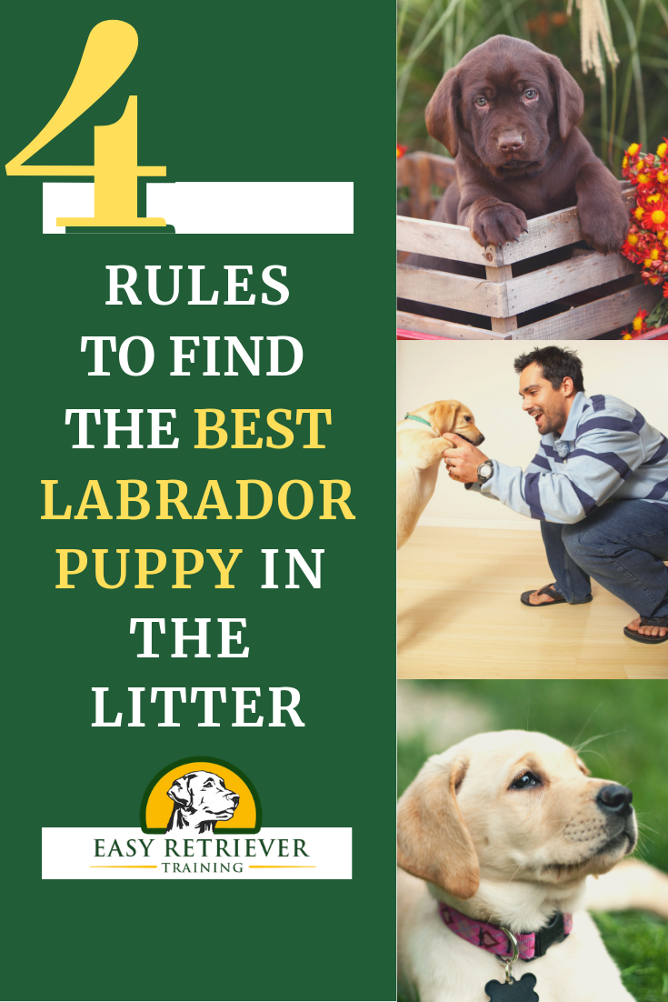 How to Identify a Good Labrador Puppy Labrador puppy