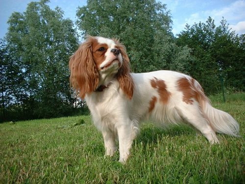 Small Dogs Breeds With The Long Hair Dog Breed Finders Hunderassen Hunde Rassen Cavalier King Charles Spaniel