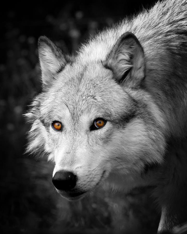 Those Eyes Steve McKinzie   Wolf dog, Wolf face, Beautiful ...