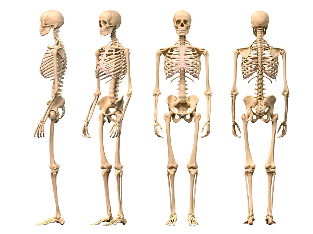 The skeleton anatomy model with stand is also made to keep the ...