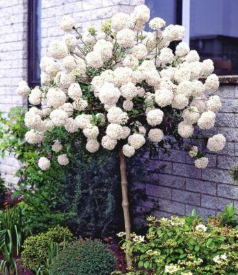 schneeball st mmchen von gartenxxl auf gartenpflanzen pinterest. Black Bedroom Furniture Sets. Home Design Ideas