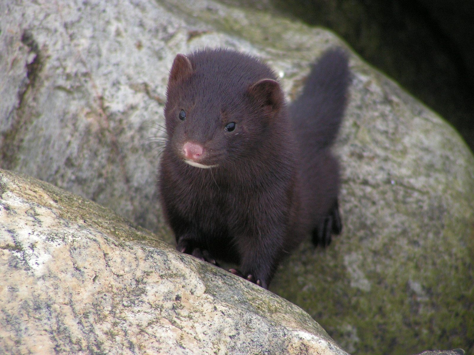 Martes pennanti Fisher cat, Fisher cat pictures, Fisher