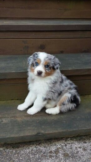 Australian Shepherd -Blue Merle- 6 weeks old
