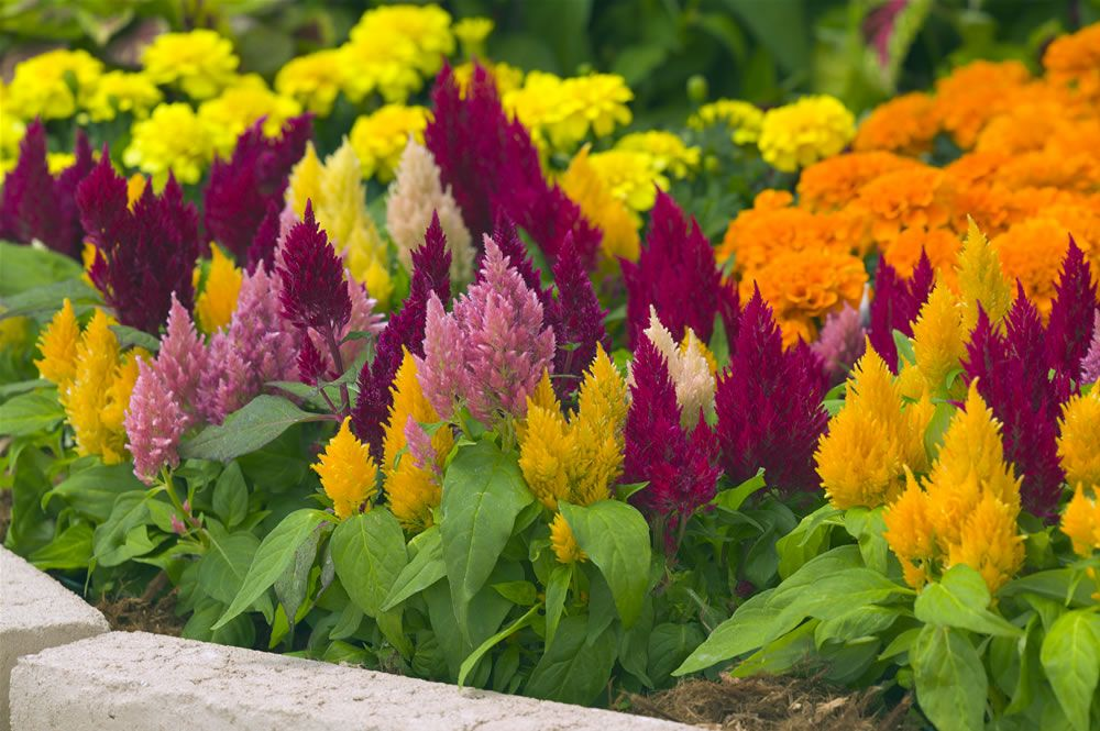 This Photo From The National Garden Bureau Really Captures The Contrasting Beauty Of The Celosia Flower Garden Plants Plants Flower Garden