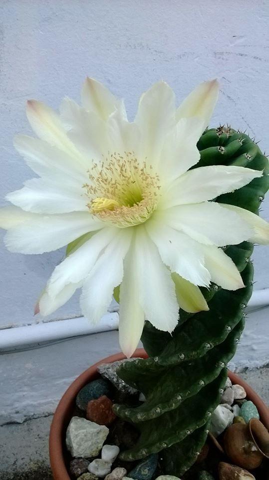 "Cereus forbesii ""spiralis"""
