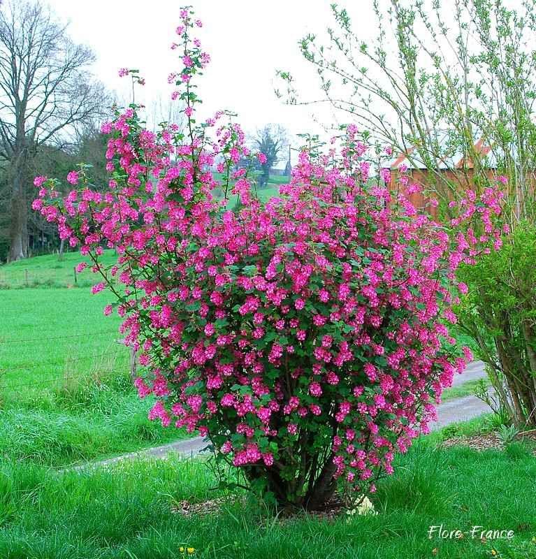 Ribes sanguineum Groseillier à fleurs Arbustes à fleurs