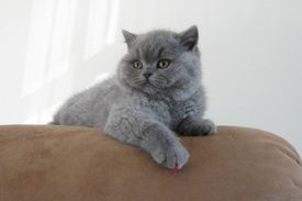 Blue British Shorthair British Shorthair Cats British Shorthair Pup