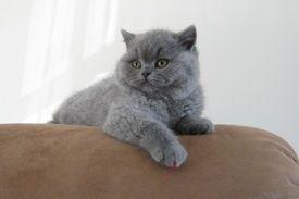 Blue British Shorthair British Shorthair Cats British Shorthair Pup