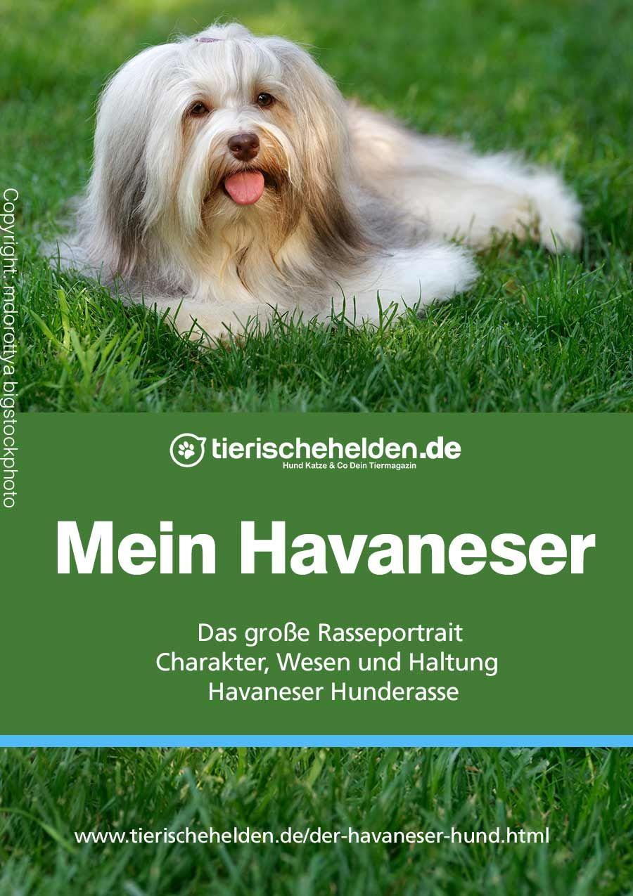 Der Havaneser Hund Charakter Wesen Und Haltung Ratgeber Zur Rasse Havaneser Havaneser Hund Havaneser Hunde